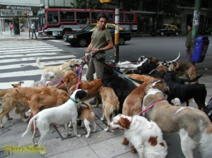 A dog walker with dogs belonging to people too busy to care for them